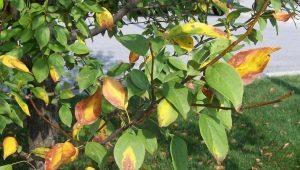 Желтеют листья у яблони: причины и лечение