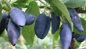 Жимолость «Лакомка»: характеристика и агротехника