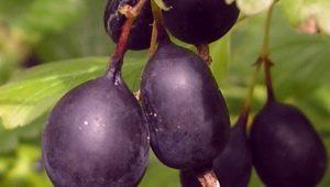 Характеристика, выращивание и применение крыжовника «Черный негус»
