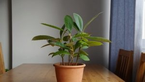 Как вырастить дерево мушмула в домашних условиях?