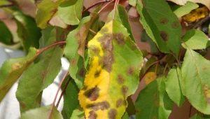 Коричневые пятна на листьях яблони: почему появляются и что с этим делать?