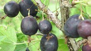 Крыжовник «Финик»: характеристика и выращивание сорта