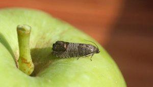 Методы борьбы с плодожоркой на яблоне