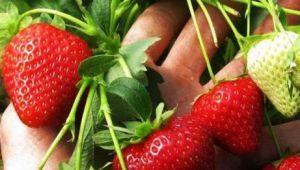 Посадка и уход за клубникой в июне: особенности и советы бывалых садоводов