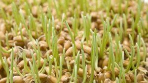 Пророщенная пшеница: польза и вред, правила приёма и особенности проращивания зерна