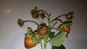 У клубники сохнут ягоды: что это значит и что с этим делать?