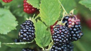 Ежевика «Честер Торнлесс»: описание, особенности и выращивание