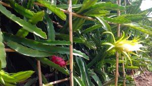 Как осуществлять выращивание питахайи?