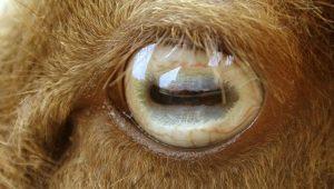 Какие блюда можно приготовить из бараньих глаз?