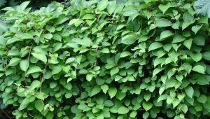 Листья лимонника: свойства, правила заготовки и употребления