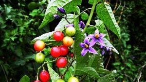 Паслен сладко-горький: описание, выращивание и применение