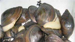 Пресноводные мидии: отличие от морских, свойства и рецепты приготовления