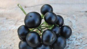 Санберри: тонкости выращивания, полезные свойства ягоды и противопоказания