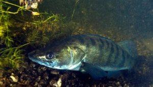 Судак: что это за рыба, где она обитает и как ее едят?