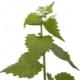Чесночная трава (чесночница)