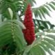 Cумах оленерогий – эффектное уксусное дерево