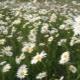 Нивяник (поповник) – садовые многолетние «ромашки»