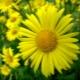 Дороникум - желтая «ромашка»