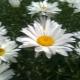 Когда цветут полевые и садовые «ромашки» нивяники?