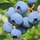Голубика «Блюкроп»: особенности сорта и возможности его разведения