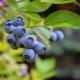 Голубика: польза, сбор ягоды и применение