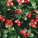 В чем польза и вред листьев брусники?