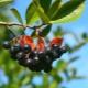Черноплодная рябина: химический состав, применение и противопоказания