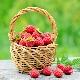 Какая бывает урожайность малины с 1 га и как её повысить?