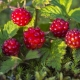 Княженика обыкновенная или малина арктическая: описание и характеристики ягоды