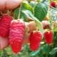 Малина «Рубиновое ожерелье» – особенности сорта
