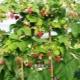 Малиновое дерево: характеристики и разновидности