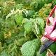 Обрезка малины: правильный уход в разные сезоны