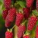 Описание ежемалины Tayberry: выращивание гибрида, достоинства и недостатки сорта