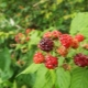 Ранние сорта малины: описание видов и советы по уходу