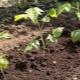 Размножение малины: способы и их особенности
