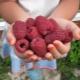 Ремонтантная малина: лучшие сорта и рекомендации по выращиванию