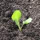 Через сколько дней после посева всходит капуста и от чего это зависит?