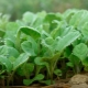 Цветная капуста на рассаду: тонкости посадки и выращивания