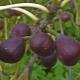 Инжир или фиговое дерево: рекомендации по выращиванию и уходу