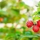 Как выбрать подходящие сорта малины для разных регионов?