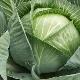 Капуста «Белорусская»: описание сорта и тонкости выращивания