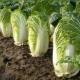 Когда и как посеять пекинскую капусту на рассаду?