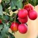 Красная алыча: разновидности и особенности применения