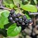 Описание черноплодной аронии: полезные свойства и выращивание растения