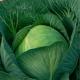 Описание и тонкости выращивания капусты «Казачок»