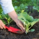 Посадка капусты: технология посева и правила выращивания