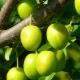 Свойства и особенности применения зеленой алычи