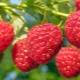 Выращивание малины из семян: посадка и советы по уходу