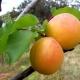 Абрикос «Чемпион Севера»: характеристика сорта и особенности выращивания