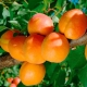 Абрикос «Триумф Северный»: описание сорта и нюансы агротехники